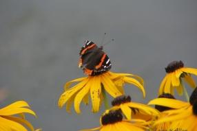 Butterfly6472s1