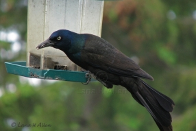 CommonGrackle2223s