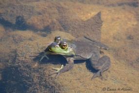 Frog8711s