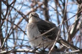 Mockingbird1468s