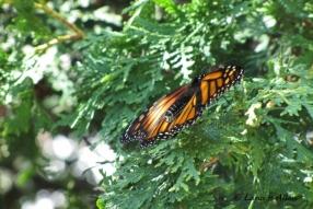 Monarch0488s
