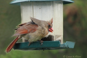 NorthernCardinal2261s