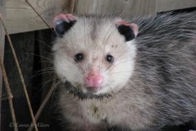 Possum4301s