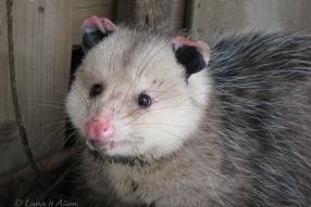 Possum4303s