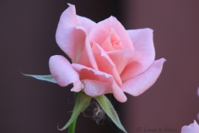 Rose0510s