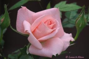 Rose0553s