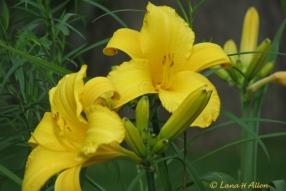 Yellow0977s