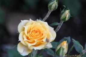 YellowRose2970s