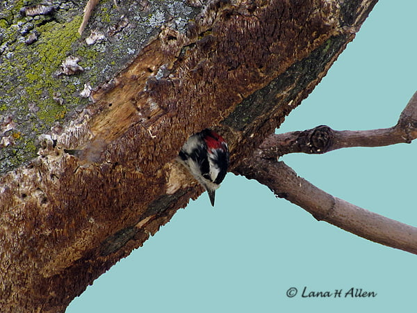 Woodpecker in His Nest