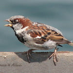Sparrow calling out