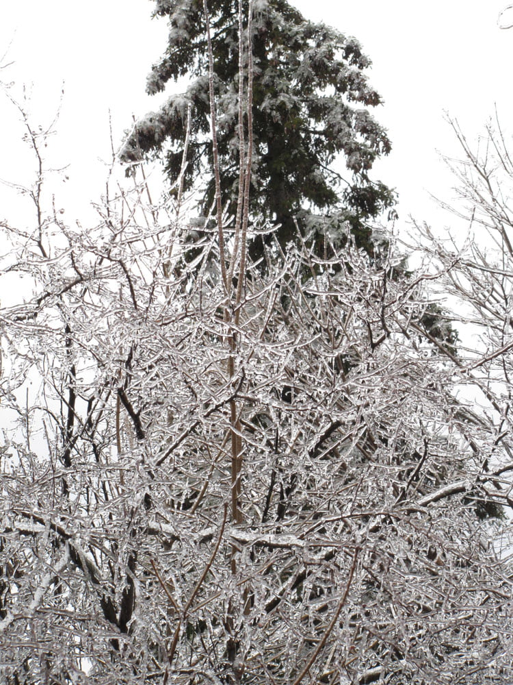 Ice branches and Evergreen
